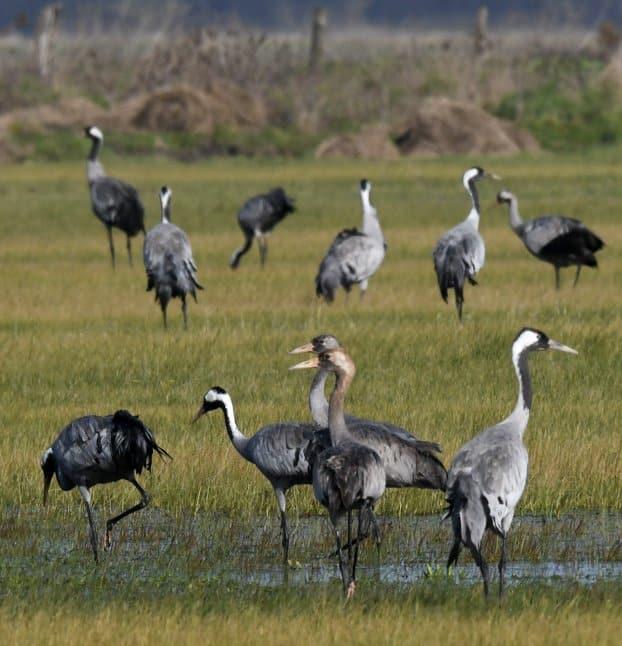 Photographie animalière grues cendrées en Vendée